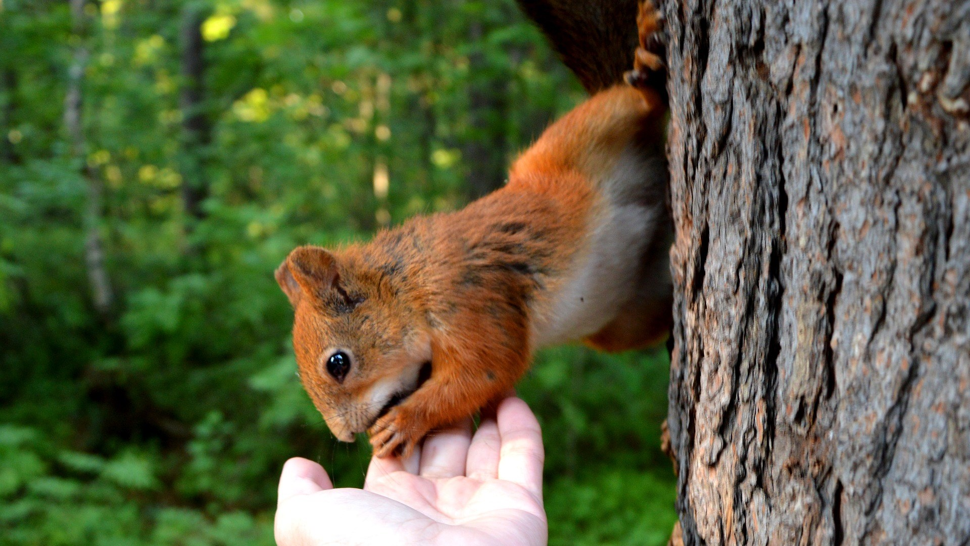 Htg-Eichhörnchen